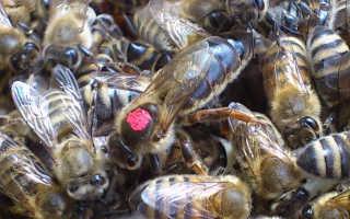 Как пометить матку пчелы видео